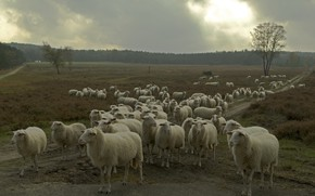 Picture nature, sheep, the herd