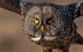 Picture look, owl, bird, flight, Great grey owl