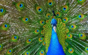 Picture feathers, Bird, color, Peacock
