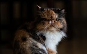 Picture cat, look, background, portrait, muzzle, cat, Persian cat