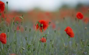 Picture greens, field, summer, background, Mac, Maki, red, blurred, poppy field