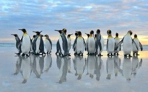 Picture sea, birds, reflection, pack, penguins