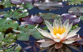 Picture flower, leaves, light, lake, glare, pond, white, pond, blue background, bokeh, Nymphaeum, water Lily
