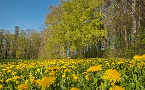 Picture field, forest, trees, Park, branch, glade, spring, yellow, meadow, dandelions, blue sky, crown, young greens