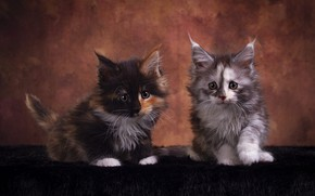 Picture look, cats, pose, the dark background, kitty, muzzle, kittens, fur, a couple, Duo, friends, two, …