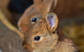 Picture small, rabbit, animal