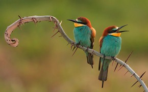 Picture branch, Birds, barb, pair