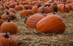 Picture field, autumn, harvest, pumpkin, pumpkin, a lot