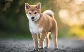 Picture puppy, on the road, Shiba inu, blur bokeh