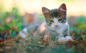 Picture cat, look, leaves, nature, kitty, grey, blur, baby, muzzle, lies, kitty, green eyes, bokeh, white