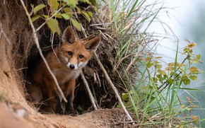 Picture grass, branches, nature, animal, Nora, Fox, Fox