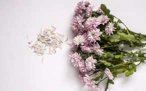 Picture flowers, background, pink, chrysanthemum, wood, pink, flowers, violet