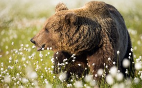 Picture grass, look, face, flowers, nature, pose, background, glade, portrait, bear, bear, profile, cotton, walk, white, …