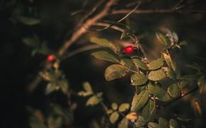 Picture Autumn, Bush, Leaves, Berry
