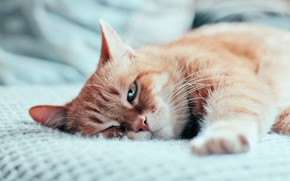 Picture cat, cat, look, face, background, paw, bed, portrait, light, blanket, red, bed, lies, unhappy, Tomcat, …