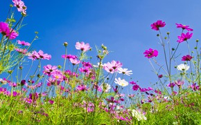 Picture field, summer, the sky, the sun, flowers, colorful, meadow, summer, pink, field, pink, flowers, cosmos, …
