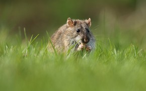 Picture grass, hamster, mouse, rat, rodent