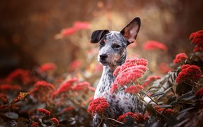 Picture look, face, flowers, nature, grey, background, portrait, dog, baby, puppy, red, ears, ear, spotted, motley, …