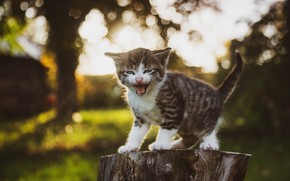 Picture nature, kitty, meows