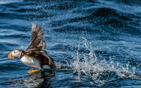 Picture bird, water, speed, puffin