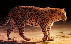Picture light, pose, the dark background, leopard, walk