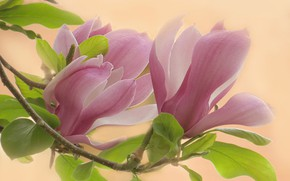 Picture leaves, macro, background, branch, petals, flowers, Magnolia