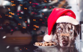 Picture look, face, branches, reflection, table, holiday, portrait, spruce, dog, plate, Christmas, hearts, New year, tree, …