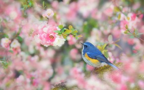 Picture flowers, branches, bird, cute, treatment, blur, spring, Sakura, pink, white, blue, flowering, bokeh, синехвостка