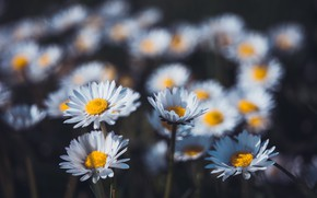 Picture flowers, the dark background, glade, chamomile, white, Daisy