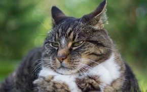 Picture cat, cat, look, face, grey, background, portrait, lies, striped, chubby