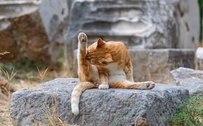 Picture a ginger cat, licking, sitting on a rock