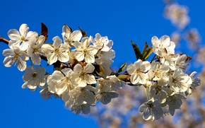 Picture nature, cherry, branch, flowering