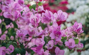 Picture leaves, flowers, branches, blur, spring, pink, flowering, a lot, bokeh, bougainvillea