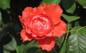 Picture rose, Meduzanol ©, summer 2018, orange rose