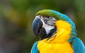 Picture look, background, bird, portrait, parrot, Ara
