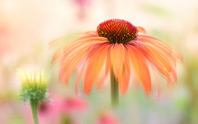 Picture flower, macro, orange, blur, light background, bokeh, rudbeckia