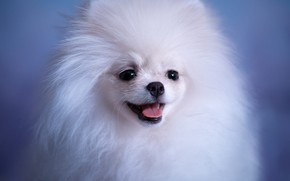 Picture language, white, look, background, blue, portrait, dog, fluffy, muzzle, puppy, Spitz