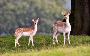 Picture nature, glade, pair, deer, fawn, a couple, two, fawn, calves