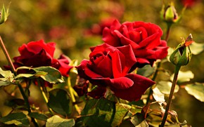 Picture flowers, background, stems, bright, rose, Bush, roses, garden, red, bokeh