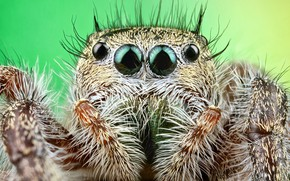 Picture eyes, look, macro, pose, green, background, portrait, legs, spider, hairy, hairstyle, jumper, jumper, spider, sakunik, …