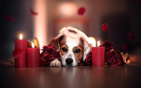 Picture look, face, flowers, roses, dog, candles, petals, bokeh
