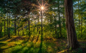 Picture greens, forest, summer, the sun, rays, light, trees, shadows