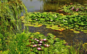 Picture greens, nature, lake, spring, water lilies