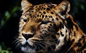Picture face, predator, The Amur leopard