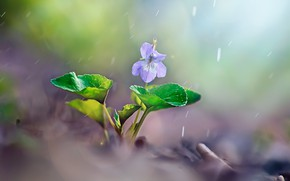 Picture flower, leaves, macro, nature, rain, spring, violet