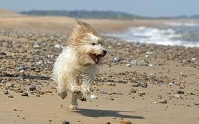 Picture beach, dog, runs