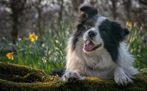 Picture look, face, mood, moss, portrait, dog, bokeh, The border collie