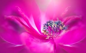 Picture flower, macro, pink, blur, petals, stamens, anemone, bright