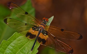 Picture macro, dragonfly, leaf, insect