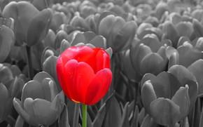 Picture Tulip, spring, petals